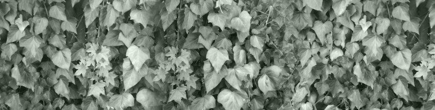 Lotta Ivy