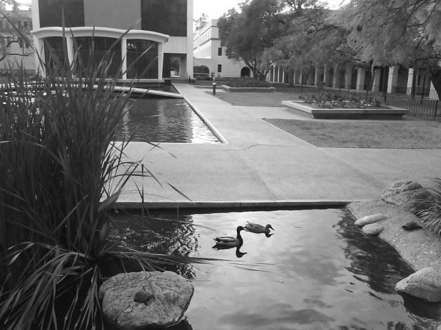 An interesting choice of habitat for this pair of Mallard ducks on a rest stop in the land of great minds like Hawking and Einstein. Caltech is such a unique and exceptional environment, for those fortunate enough to be accepted into the community, as well as those who adopt it.