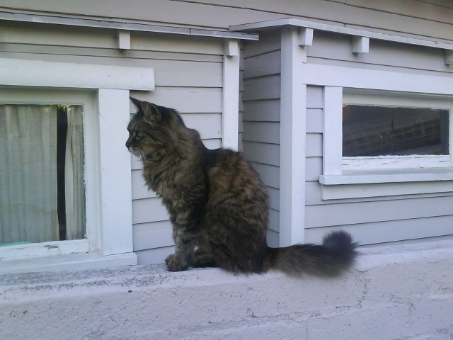 18 Year Old Out Door Los Angeles Maine Coon Mix