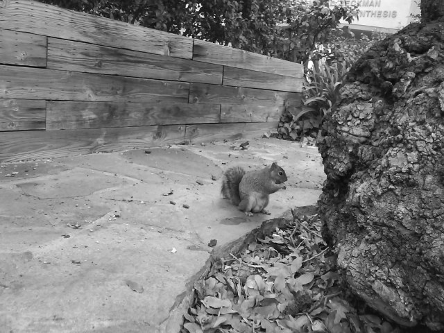 Resident Squirrel Near Old Oak Tree Caltech Campus