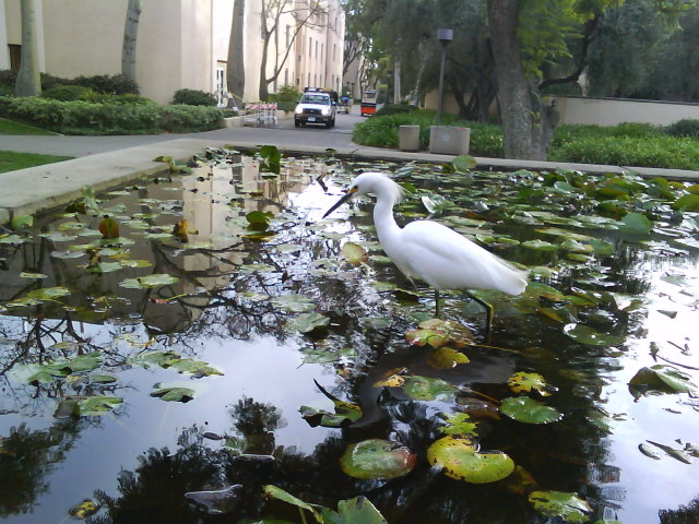This White Heron Is A Yearly Visitor To The Caltech Lily Ponds