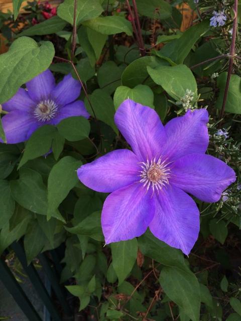 California Garden Purple Spring Flowers