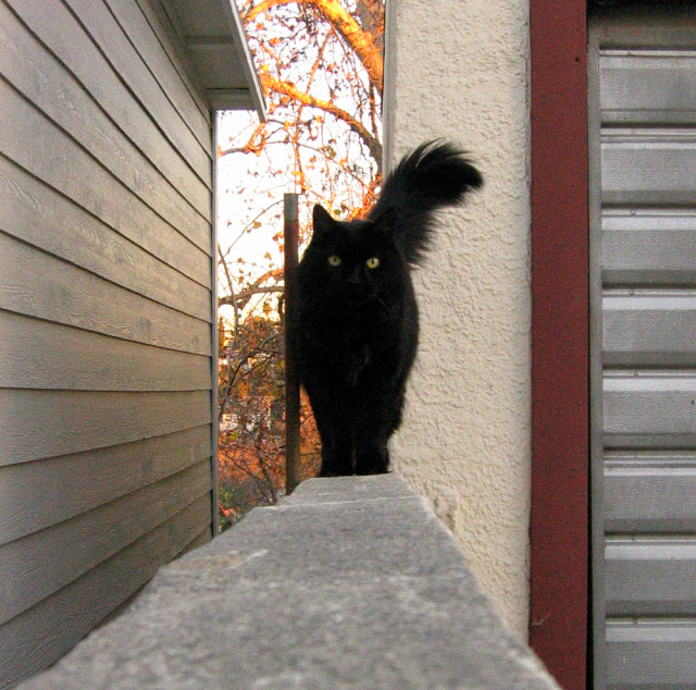 Schwartzie The Best Black Cat That Ever Lived