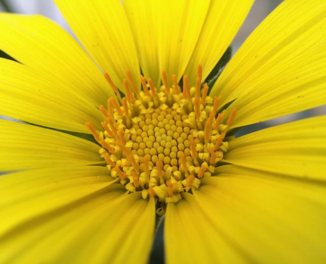 Yellow Daisy Flower At Caltech